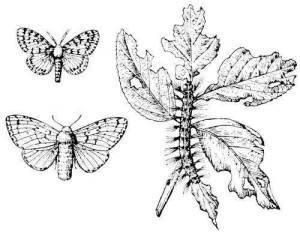 Непарный шелкопряд самец, самка и гусеница фото