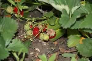 Урожай клубники новой посадки фото