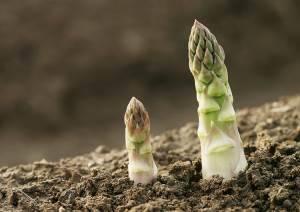 Выращивание спаржи советы фото