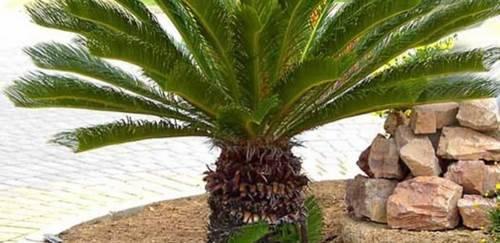 Японская пальма: саговник и цикас