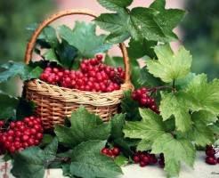 Калина красная — полезное растение в огороде