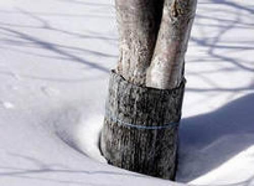 Обвязка дерева рубероидом фото