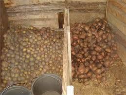 Сортируем картофель перед закладкой на хранение