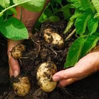 Уборка и хранение картофеля