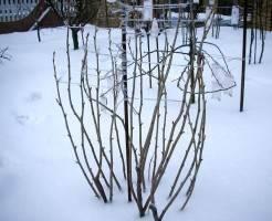Подготовка кустов смородины к зиме