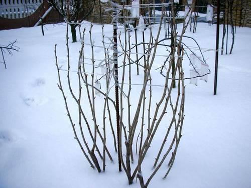 зимовка куста смородины фото