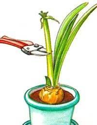 гиппеаструм обрезка цветка фото