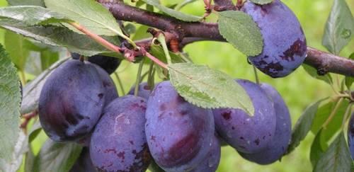 Слива: выращивание и уход