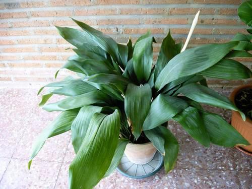 Растение аспидистра