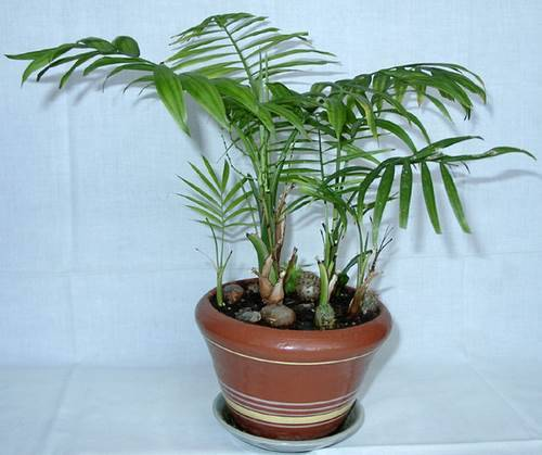 Растение хамедорея
