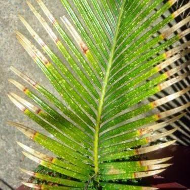 Растение хамедорея подвержено болезни