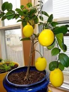Дженоа лимон фото