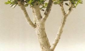 Комнатное дерево счастья