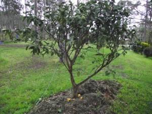 дерево Атемойя фото