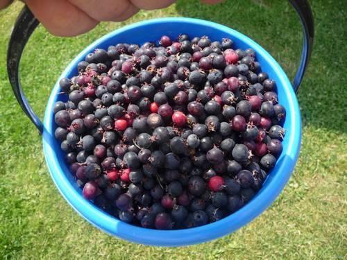 урожай ягоды ирги