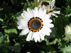 Цветок венидиума