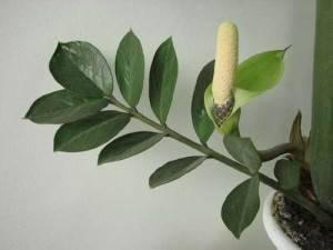 """Растение """"Замиокулькас"""" или долларовое дерево"""