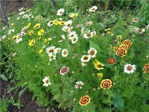 Цветы венидиума