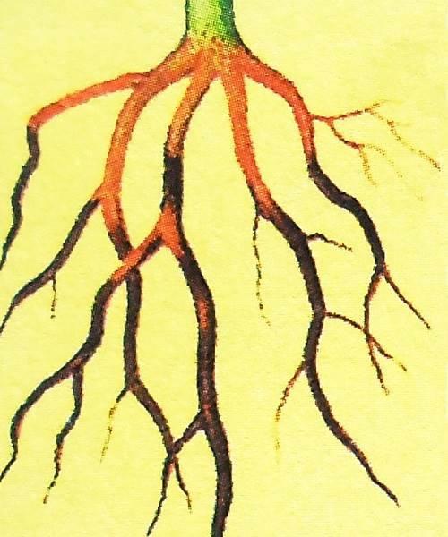 корневая гниль болезнь фикуса