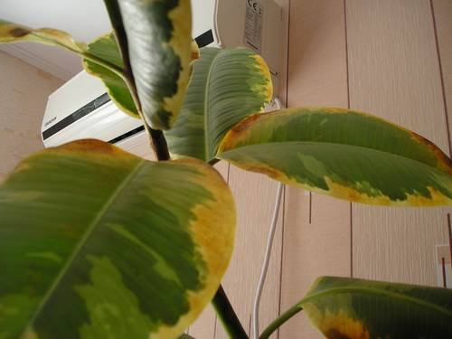 Пожелтение листьев у фикуса
