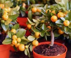 Хотите домашних мандаринов - купите мандариновое дерево