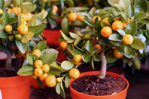 Самое миниатюрное мандариновое дерево