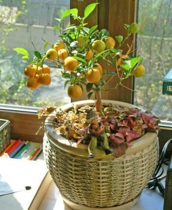 Мандариновое дерево на подоконнике дома