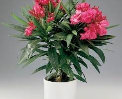 Олеандр — цветок для новостроек
