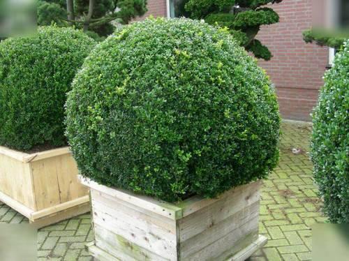 самшит около дома создает вечно зеленый вид