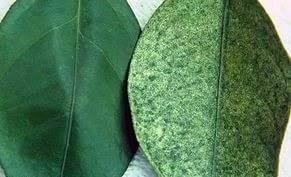 пятна на листьях фикуса - болезнь один из видов