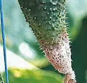 Серая гниль на кактусе