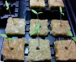 Выращиваем рассаду томатов дома