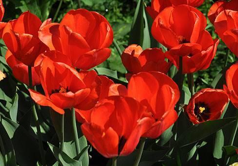 Среднецветущий сорт тюльпана Оранж Баллон