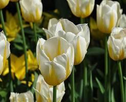 Какие бывают разновидности тюльпанов?