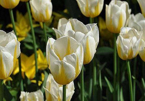 Ранецветущий тюльпан сорта Флэминг Кукетт