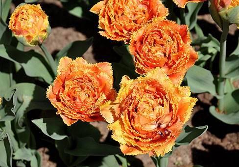 Бахромчатый сорт тюльпана Сенсуал Тач