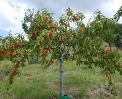 Уход за саженцами персика зимой