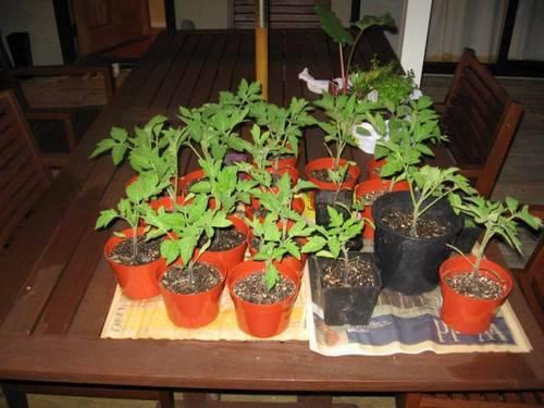 рассаживаем рассаду томатов по горшочкам