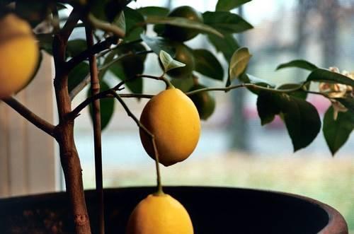 комнатный лимон подвергается воздействию болезнетворные микрофлоры