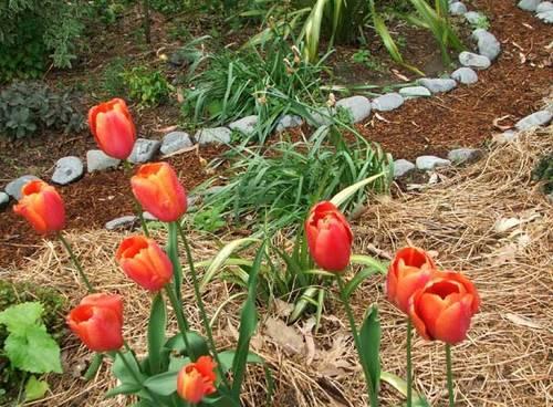 мульчирование тюльпанов