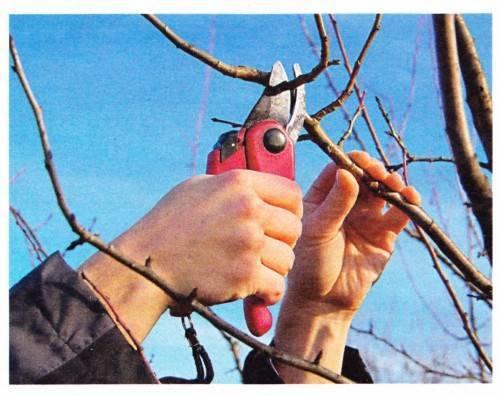 Обрезка деревьев зимой