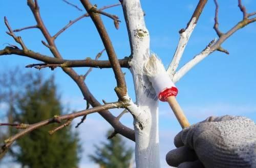 Побелка деревьев в саду зимой