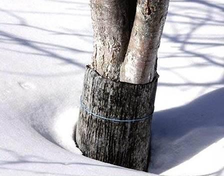 Подготовка яблонь к зиме - обертывание