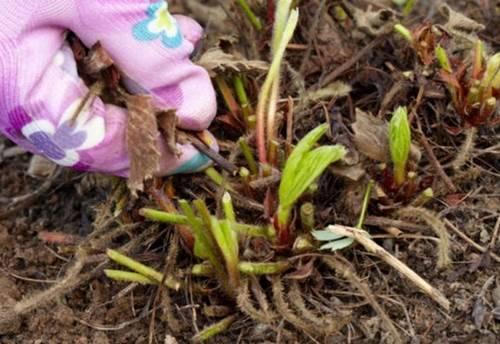 убираем старые листья клубники и прорежаем ягоды