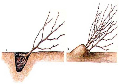 Прикопка саженцев деревьев