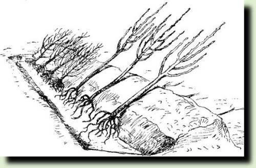 Прикопка саженцев деревьев на зиму