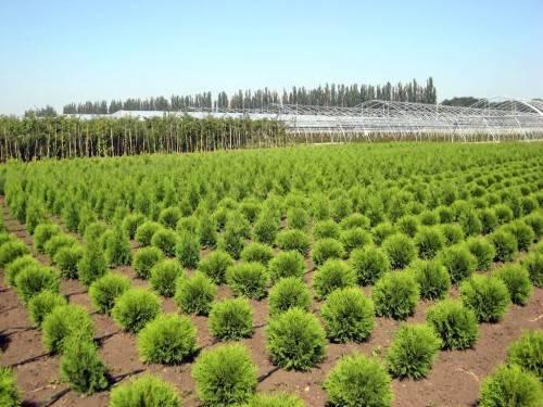 Саженцы растений