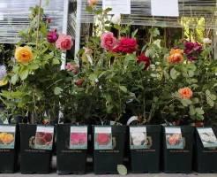 Подготовка саженцев роз к зиме