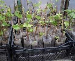 Уход за саженцами винограда зимой