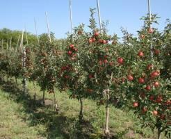 Уход за саженцами яблони зимой